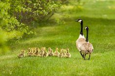 Canada Goose. Photo: Marilyn J. Grubb/Audubon Photography Awards.