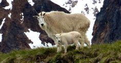 mountain goat  & kid near Smithers