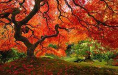 Un arce japonés, Oregón, EEUU, Los 16 Árboles Más Bonitos del Mundo - (Page 5)