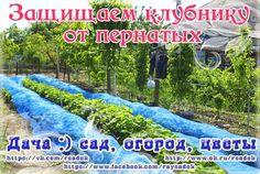 Защищаем клубнику от пернатых   Дачный сад и огород