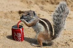 squirrel drinking from coca cola can