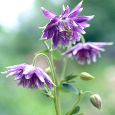 Blue Barlow' columbine  Aquilegia vulgaris 'Blue Barlow' has interesting, shaggy-looking double flowers that dangle over finely divided foliage. Zones 3-8