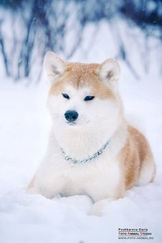 My 2nd favorite breed:  The Akita