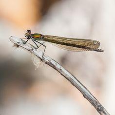 https://flic.kr/p/GLLk26 | Calopteryx splendens ♀ | Banded Demoiselle (Calopteryx splendens) female damselfly. www.macropoulos.com
