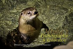 Doesn't this cute little otter  seem to be asking you to play in the water with him? So cute. So smart. Just adorable. Brown Bear, Otters, Originals, Restoration, Play, Cute, Photography, Animals, Photograph