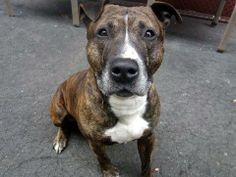 TO BE DESTROYED FRIDAY, 3/14/14- Manhattan Center    WINDIGO - A0993161   MALE, BR BRINDLE / WHITE, PIT BULL MIX, 4 yrs  STRAY - STRAY WAIT, NO HOLD Reason STRAY   Intake condition NONE Intake Date 03/05/2014, From NY 10465, DueOut Date 03/08/2014  https://www.facebook.com/photo.php?fbid=768622349817313&set=a.617938651552351.1073741868.152876678058553&type=3&permPage=1