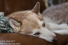 The challenge of living with a photographer - unflattering puparazzi photographs. #dogs #siberianhusky #husky