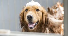 By Juliana Weiss-Roessler If your dog hates bath time, it's likely you do, too. It may be hard to imagine that you could turn it around and start viewing a bath as a time for bonding instead, but it is possible! The key is to have a strategy for the change. Here are some tips for developing your dog's love for bath time.