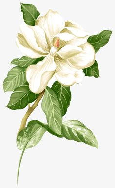 Painted white jasmine picture material PNG and Clipart Victorian Flowers, Vintage Flowers, Botanical Flowers, Botanical Prints, Flower Frame, Flower Art, Cherry Blossom Art, White Gardenia, White Lilies