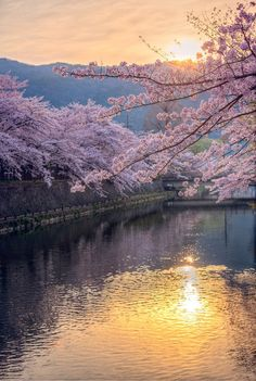 Cherry Blossoms at Sunrise--Japan