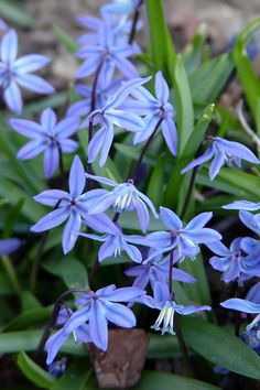 Siberian squill (Scilla siberica). Short April bloomers with cobalt-blue hanging flowers.