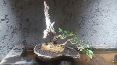 My bonsaìi .. on sale now