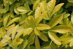 Buy Mexican orange blossom Choisya ternata Sundance = '('Lich') (PBR)': Delivery by Crocus.co.uk