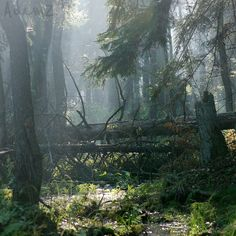 """""""Straddling the border of Poland and Belarus, there is a reminder of what Europe used to look like before the arrival of man. Białowieża Forest is the largest remaining part of a vast primeval forest that stretched for thousands of miles from corner to corner of the European plain."""""""