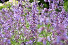 santa-kocici Cat Mint Plant, Mint Plants, Growing Catnip, How To Grow Catnip, Herbs For Sleep, Catnip Plant, Herbs List, Cat Allergies, Hardy Perennials