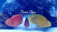 Oscar Clan - Parrot Cichlids, parrotfish,