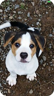 Haggerstown, MD - Corgi/Beagle Mix. Meet Ellie, a puppy for adoption. http://www.adoptapet.com/pet/13025105-haggerstown-maryland-corgi-mix