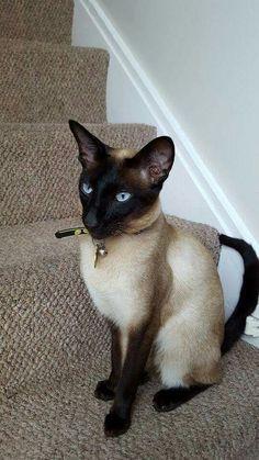 Blue point siamese Oriental shorthair cats, Siamese cats