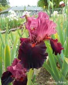 TB Iris 'Wearing Rubies'