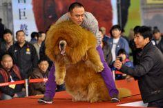 Tibetan Mastiff...