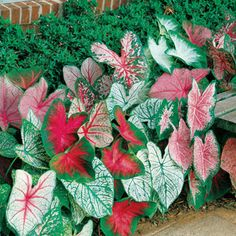 Few plants can match the diveristy of color and pattern found in Fancy-Leaved Caladiums -- and with this premium mix you can grow this glorious shade-lover in every form you like!