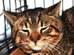 KILLED BY ACC - TO BE DESTROYED – 05/05/15 * Manhattan Center * BYRON came into MACC as a stray and is having some trouble adjusting. My name is BYRON. My Animal ID # is #A1033178. I am a male brn tabby dom sh mix. I am about 5 YEARS old. STRAY on 04/14/2015
