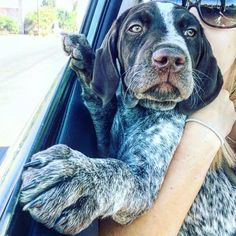 German Shorthaired Pointer Pup ~ Classic Look