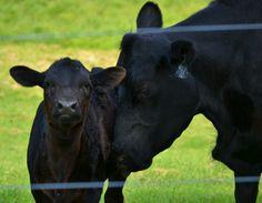 Black Angus newborn ahhhh no hamburgers for me!!!