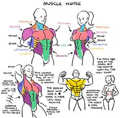 I've been studying muscles a lot so I drew up some notes of what I've observed