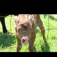 Baby cow :) Baby Cows, Animal Crossing, Calves, Horses, Animals, Animales, Animaux, Animal, Animais