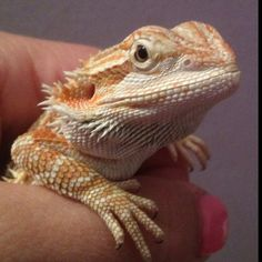 Bearded Dragon - reminds me of Blazer as a youngin' :-)