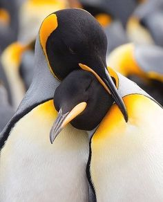 The Animal Kingdom is full of amazing creatures like the Emperor Penguin they care for their young chicks and protect. Wildlife Nature, Nature Animals, Animals And Pets, Baby Animals, Funny Animals, Cute Animals, Wild Animals, Wildlife Photography, Animal Photography