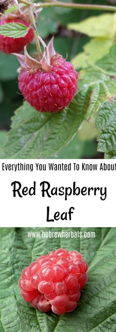Learn more about red raspberry leaf, and why you should have it in your home herbal collection. Find out the many uses, including a delicious tea blend to drink! http://hebrewherbals.com