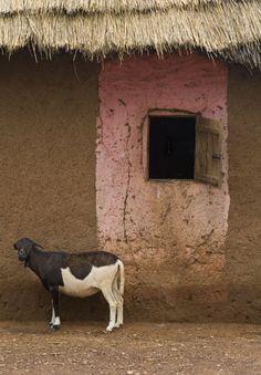 The goats of Ghana. I hate them.