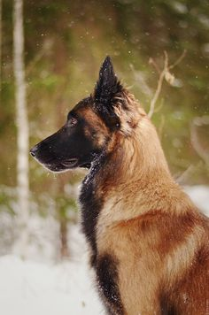 The Belgian Shepherd Malinois