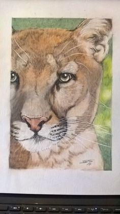 cougar close up in colour pencil