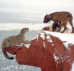 Cool, Amazing and Different Wildlife pictures Mountain Lion Hunting, Mountain Goats, Hog Dog, American Bull, Hunting Dogs, Wildlife Art, Working Dogs, Pics Art, Mans Best Friend