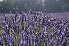Tre the calming, cleansing and therapeutic benefits of organic lavender. Lavender Crafts, Lavender Flowers, Lavender Essential Oil Uses, Essential Oils, Lavender Varieties, Lavender Benefits, Growing Lavender, Insect Repellent, All Things Purple