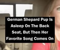 German Shepard Pup Is Asleep On The Back Seat, But Then Her Favorite Song Comes On