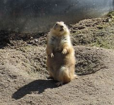 Not a groundhog, but we saw prairie dogs at the LA Zoo in February 2013. This one even saw his shadow!