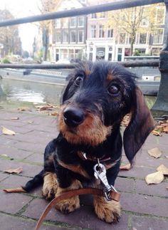 Jaap Ruwharige teckel standaard | Pawshake Amsterdam
