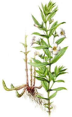 Gnadenkraut - Gratiola officinalis L.