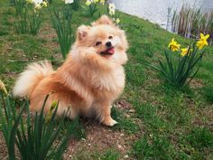 'Dad, can you get my ball from the pond pretty please?' - Cute Happy Fluffy Pomeranian Dog