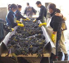Así ha sido la cosecha de 2013-2014 en #RiojaAlavesa. #ArabakoErrioxa.