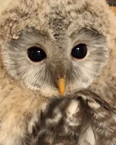 So beautiful eyes ❤ wildlife faces смешные животные, к Cute Funny Animals, Cute Baby Animals, Animals And Pets, Beautiful Owl, Animals Beautiful, Vogel Gif, Owl Activities, Owl Food, Owl Pictures