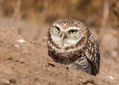https://flic.kr/p/BbKWE8 | Funny face | Burrowing owl