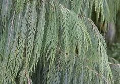 Hey, I found this really awesome Etsy listing at https://www.etsy.com/listing/220519220/kashmir-cypress-seeds-cupressus