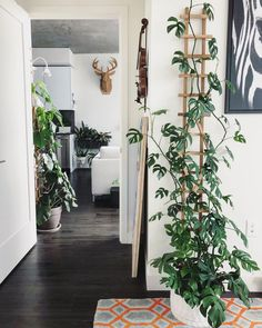Rhaphidophora Tetrasperma Care Guide - That Planty Life : How to Care for a Rhaphidophora tetrasperma – Mini Monstera House Plants Decor, Garden Plants, Indoor Plants, Hanging Plants, Indoor Plant Decor, Indoor Climbing Plants, Greenhouse Plants, Indoor Herbs, Garden Shrubs