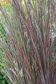 1000 images about yard final selections on pinterest for Fast growing tall grass