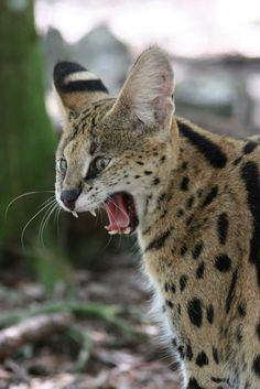 Scenes from Big Cat Rescue:  Daisy the Serval    (photo: Big Cat Rescue, Tampa FL, USA)